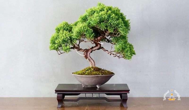 What Does a Bonsai Tree Symbolize & 7 Spiritual Benefits of Having Them