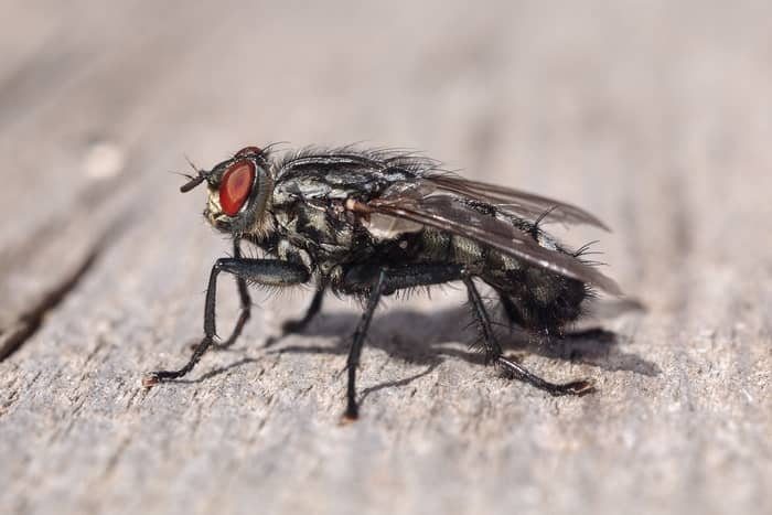 Spiritual Meaning of Flies in Your House